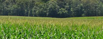 London Farms Corn Field