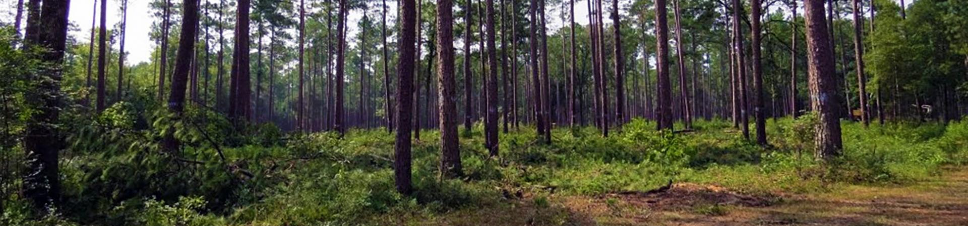 Thinned Pine Forest