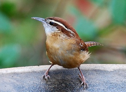 Carolina wren. By Terry W. Johnson