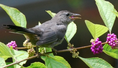 Gray catbird eating berries of American beautyberry. Terry W. Johnson