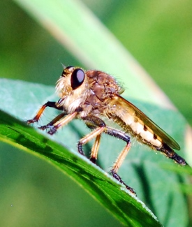 Robber fly. Photo by Terry W. Johnson.