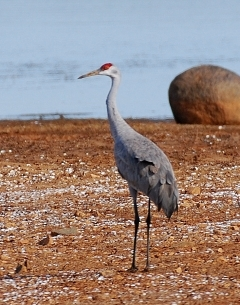 Sandhill crane (Terry W. Johnson)